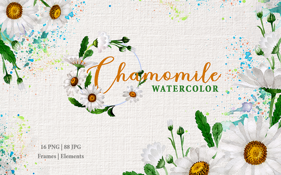 Chamomile Watercolor Png Illustrations